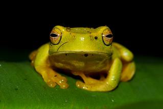 Dainty Tree Frog Pondering