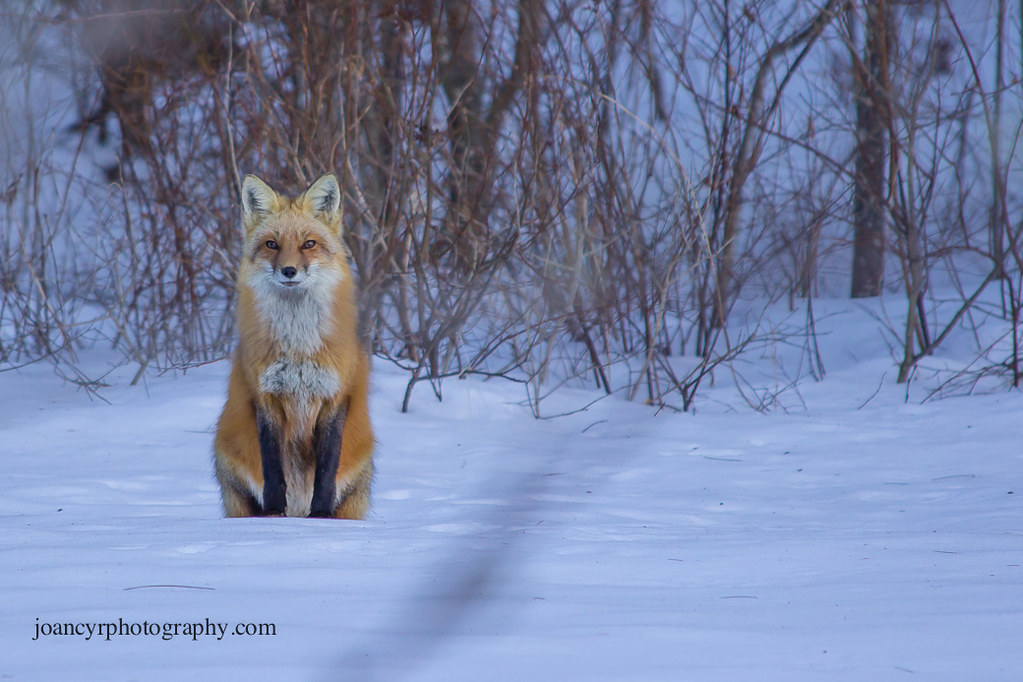 Red Fox (series) | We have all sorts of wildlife in our ...