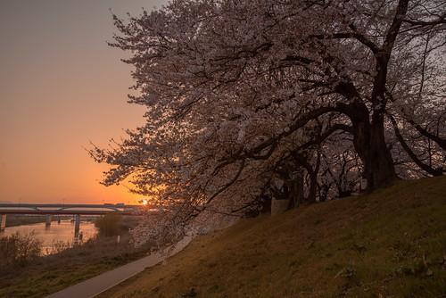 八幡市 京都府 japan kyoto 背割堤 淀川 川 river 桜 日の出 sunrise cherry