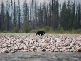 Black Bear along the South Fork Flathead River | by Forest Service - Northern Region
