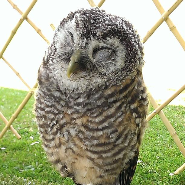 Sleeping Baby Chaco Chacoowl Owl Owls Bird Birds Bi Flickr
