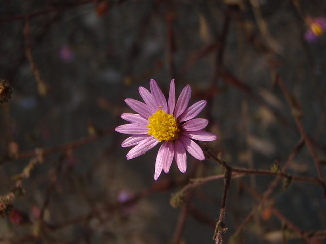 Aster chilensis (California Aster)