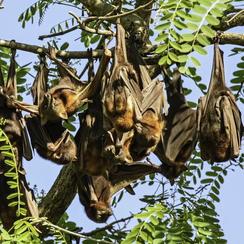 animal fauna bat queensland flyingfox ipswich greyheadedflyingfox australianfauna pteropuspoliocephalus woodendflyingfoxcamp