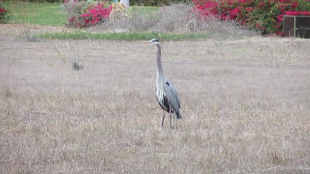 MVI_7670 great blue heron