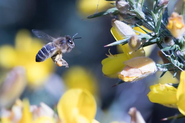 Honey bee in flight ( Explored )