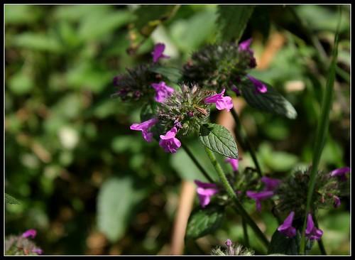 Clinopodium vulgare - calament clinopode 33337905754_0de878117a