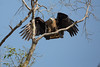 Pallas's fish eagle (Haliaeetus leucoryphus), Jim Corbett National Park, India by Free pictures for conservation