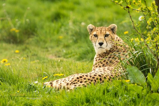 Northern Cheetah