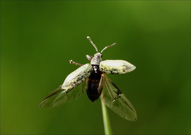 Flying Weevil