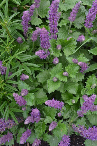 Salvia verticillata 'Purple Rain'2 | by Avondale Nursery