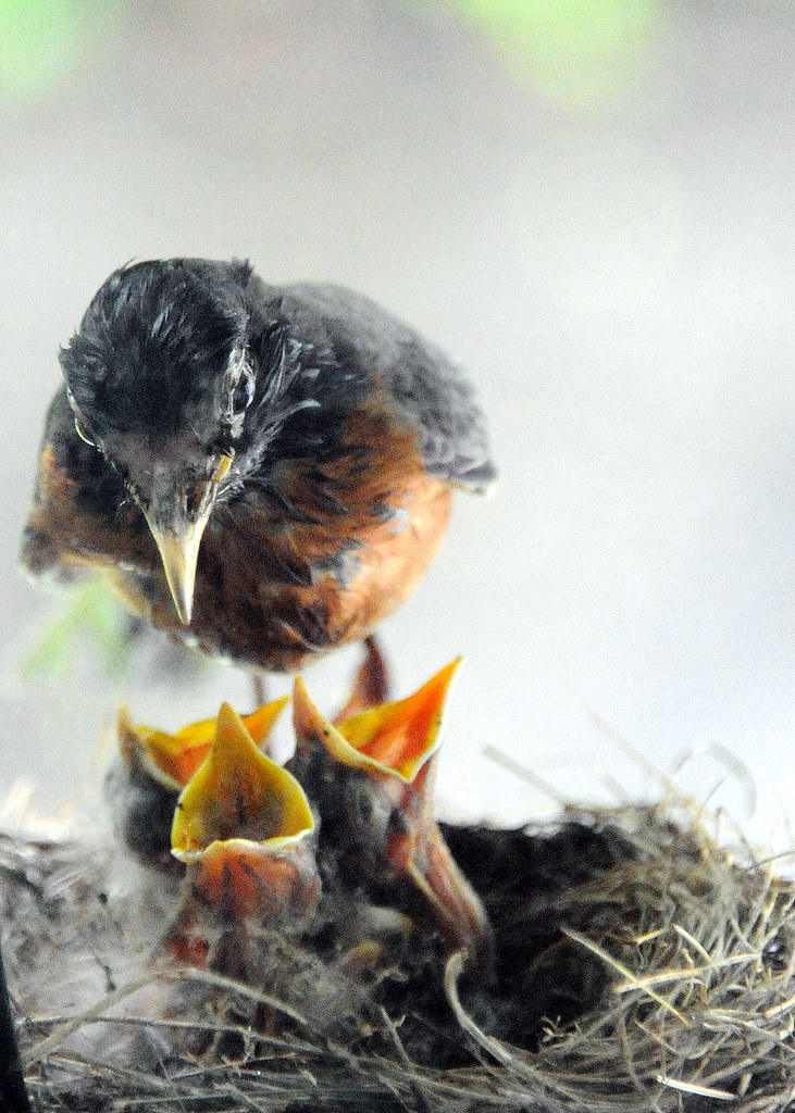 Feeding Baby Birds A Robin Returns To Her Nest To Feed 3 N Flickr