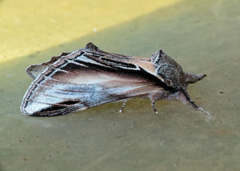 2007 Swallow Prominent - Pheosia tremula