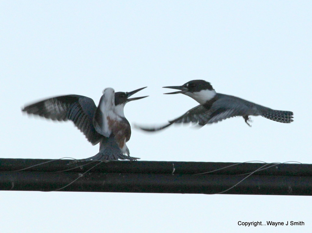 1-Kingfishers..Jackson 07-16-2013 051