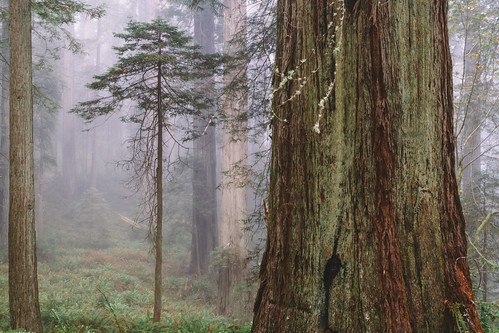 trees forest redwoods california big small nature bark canon mist foggy fog scenery canoneos7d canonef2470mmf28lusm
