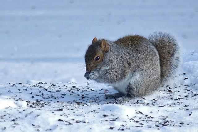 Sony RX10, Squirrel, Botanical Gardens, Montréal, 25 December 2013 (12)