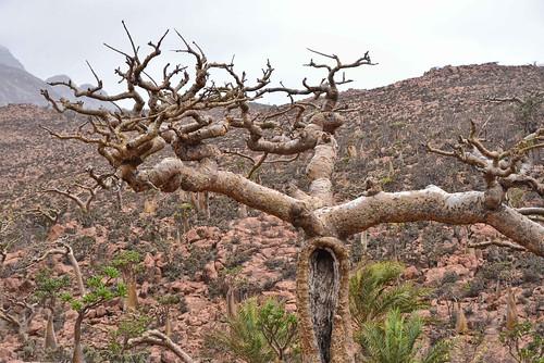 Frankincense Tree, Socotra Island | by Rod Waddington