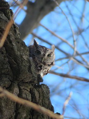 Eastern Screech-Owl, Clarion Co., 2/4/2017