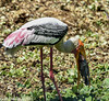 Painted Stork (Mycteria leucocephala) by sanjeevdhar