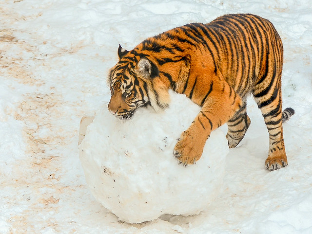 Tiger Rolling His Snow Ball ...