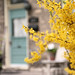 Forsythia by peterkelly
