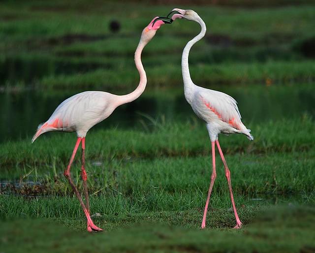 greator flamingos