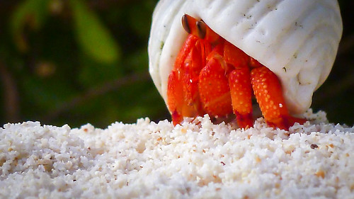 Coral sand crab | by Glen R90