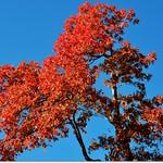 Oak(橡、櫟) in Fall, Chautauqua, Boulder 4