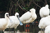 Black-faced Spoonbill S21 from South Korea, taken in Mai Po Nature Reserve, Hong Kong by Samson So Photography