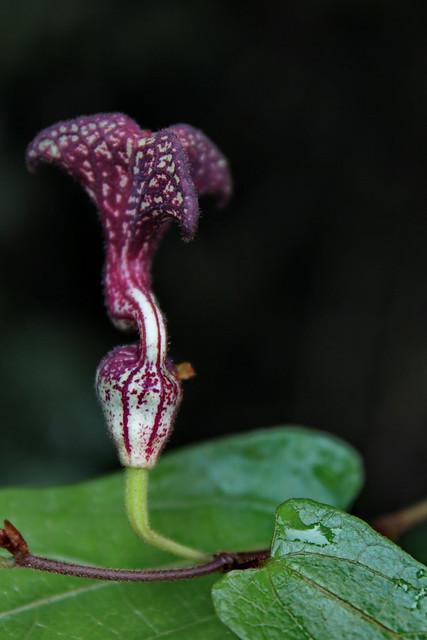 Pararistolochia deltantha Aristolochiaceae Mountain Aristolochia 1113 06 Paluma