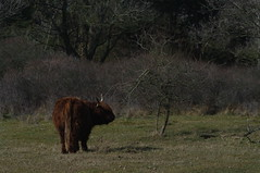 Highland cow, Zuid-Kennemerland