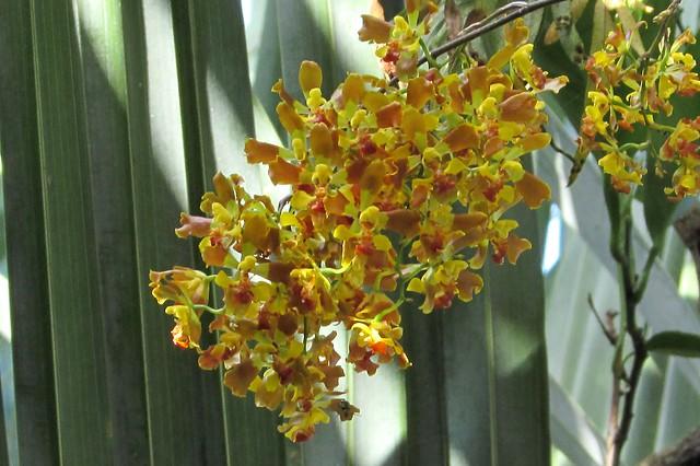 Oncidium Baptistonia Riograndense