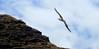 A Moli or Laysan Albatross (Phoebastria immutabilis)  in flight above Ka'ena Point Natural Area Reserve on O'ahu, Hawaii by Kanalu Chock