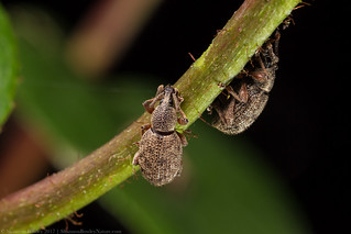 Weevils | by Shannon Christensen (Shannon Bowley)