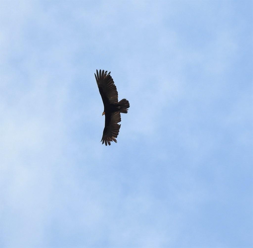Black Caracara flying over Manu