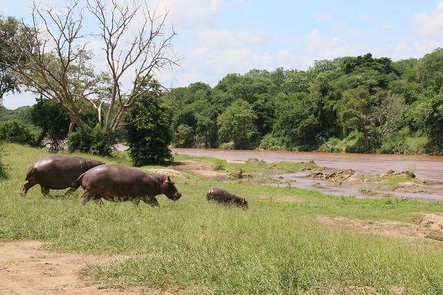 Hippo @ Majete Wildlife