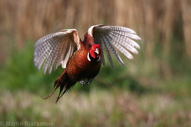 Pheasant in flight 6637(6D2)