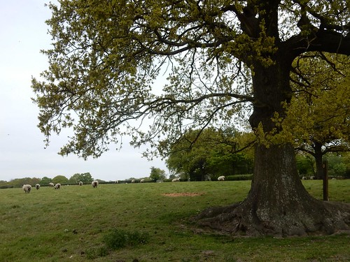Sheep with tree Hever to Ashurst