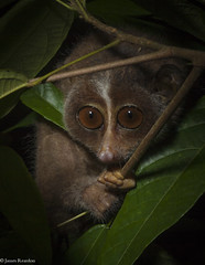Slender loris, Loris tardigradus tardigradus, photo James Reardon