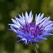 Flickr photo 'Centaurea cyanus BS090513-307' by: Sarah Gregg Petriccione.