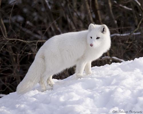 Artic Fox   by Eddiepics
