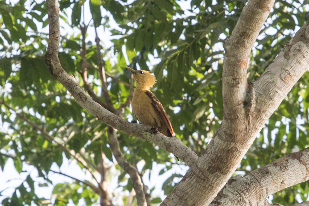 Cream-colored Woodpecker at Laguna Grande S24A3725