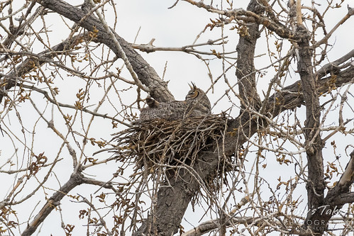 Female Great Horned Owl keeps watch on nearby Cooper's Hawk | by TonysTakes
