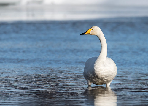 Whooper Swan (3 of 5) | by tickspics