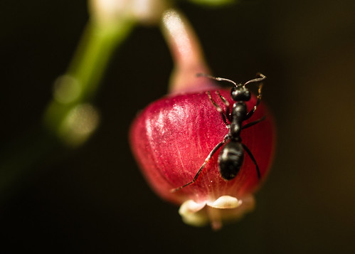 ant on bilberry