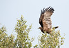 Greater Spotted Eagle (Aquila clanga) by piazzi1969