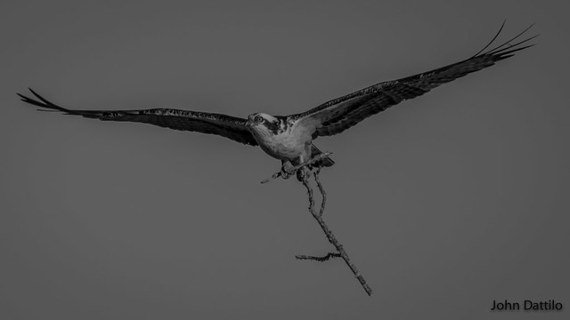 Nest building time for the Osprey's at Patoka Lake, Indiana.