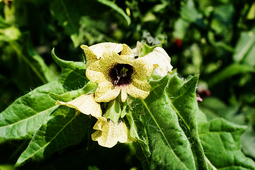 An image of a henbane plant in bloom.