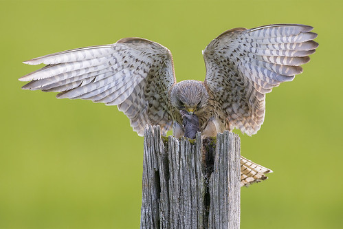 Kestrel | by iesphotography