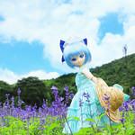 lavandula pedunculata/薰衣草/ラベンダー