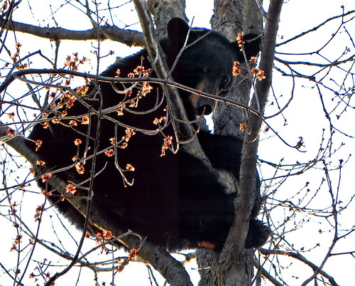 Photo of a bear in a tree